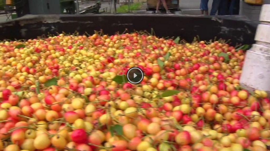 Maraschino Cherries: From Harvest to Jar